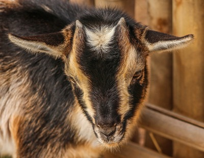 goats-202362_1280