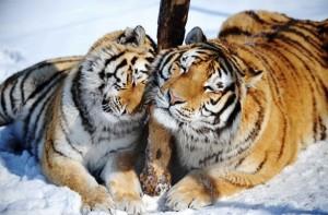 Siberian-tigers-